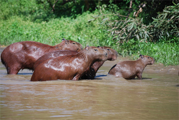 A family of Capybaras swimming in the river.