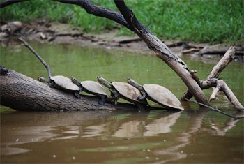 A family of river turtles sun themselves on a log before being wiped out by a passing boat wake.