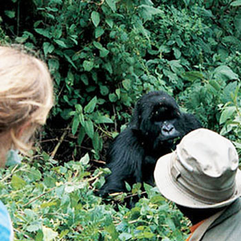 Get up close to the wild mountain gorillas in Rwanda. (photo credit: Expert Africa)