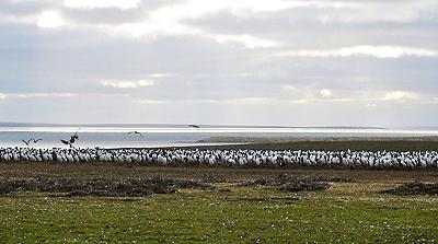 A mass of penguins.