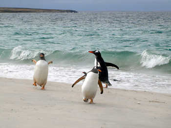 Penguins by the sea in the Falkland Islands. photos by Rachel Dickinson except as noted.