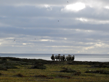 There are way, way more sheep in the Falklands than people.