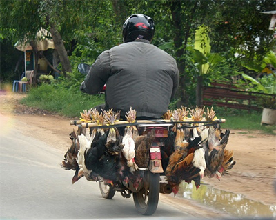 A delivery of chickens speeds towards Phnom Penh.