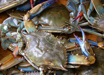 Baltimore is famous for their delicious blue crabs. Photo courtesty of Wikipedia.