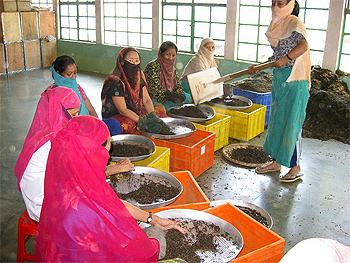 Local women hand sort the tea leaves at Glenburn Tea Estate.