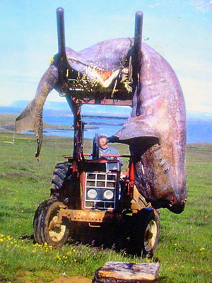 Harvesting shark in Bjarmarhofn, West Iceland. Hildibrandur drives it to his barn for processing.