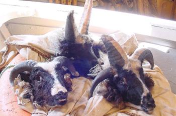Sheep heads before they become Svið og sviðasulta.