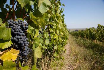 Triebaumer Vineyards in Rust