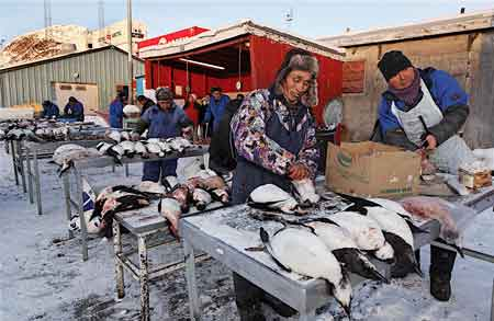 Hunters cleaning Guillemot, seabirds sold for their meat in the coastal town of Sisimiut