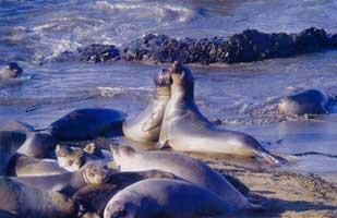 Seal colony on Blancas Beach near San Simeon, California. Photo by Neil Sutherland.