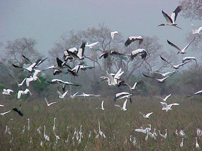 Flock of Wood Storks ( Mycteria americana)