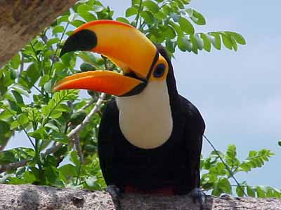 he Toco Toucan ( Ramphastus toco )
