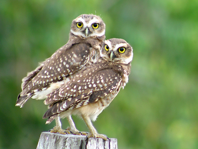 The burrowing owls.