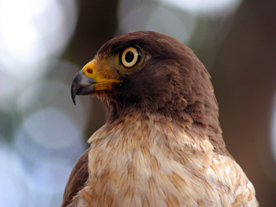 The Roadside Hawk (Buteo magnirostris) normally lives close to open areas, nearby forested areas. They are one of the most common hawks in Brazil and they can reach 40cm long.