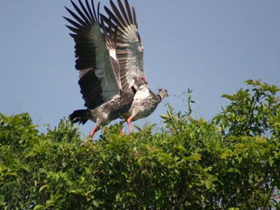 The Southern Screamer (Chauna torquata)