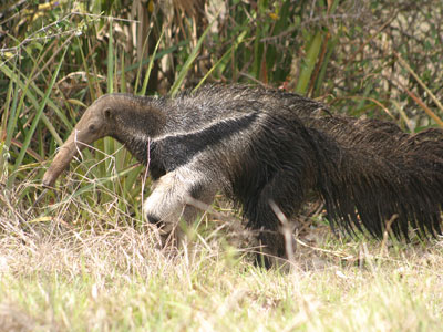 The Giant Anteaters ( Myrmecophaga tridactyla )
