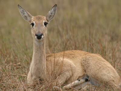 The Pampas Deer