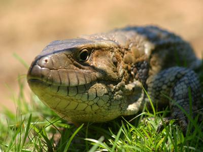 The Caiman Lizard (Dracaena paraguayensis)