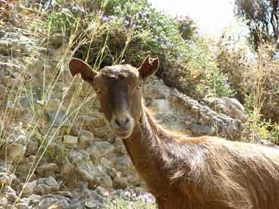Goat at Sfakion