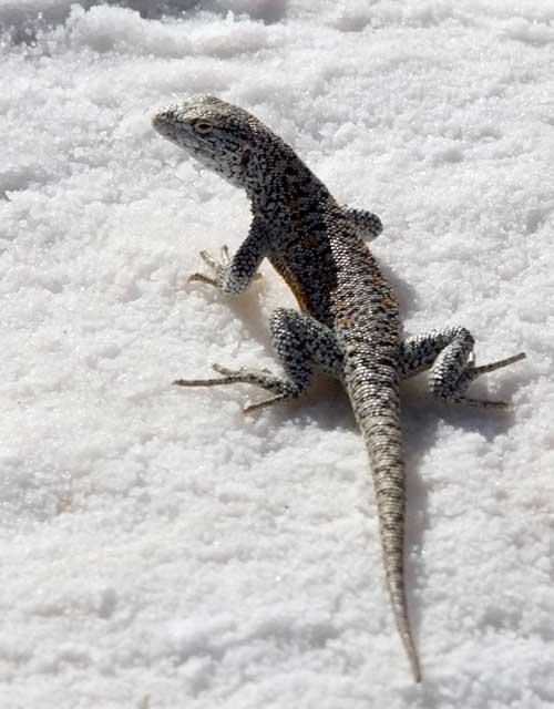Lizard in the Atacama Salt Lake.