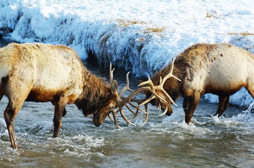 Bull Elk Wyoming
