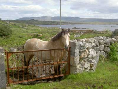 One of many horses on the Aran Islands