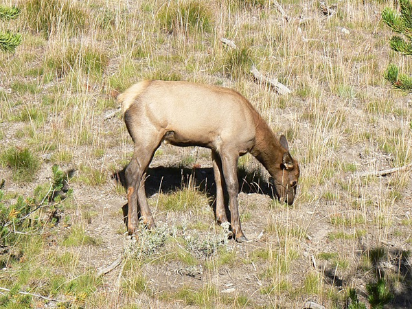 Baby elk in Yellowstone National Park.