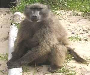 A Chacma baboon - photo by Lorna Thomas