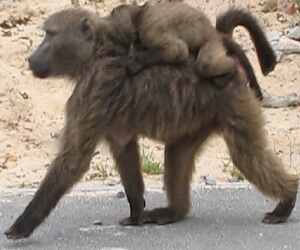 Baby Baboons ride on their mothers' backs. Photo by Lorna Thomas