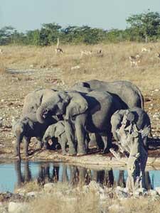 Desert elephants drinking - photo by Regen Jamieson