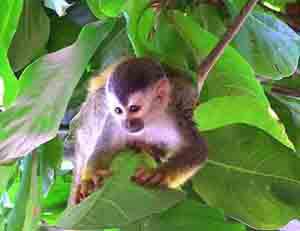 A Titi monkey in Ecuador