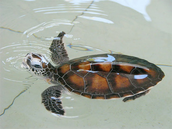 Most of the work involves looking after the 1-to-6-month-old baby turtles.