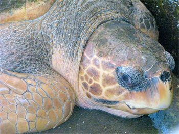 Sheila, a 30-year-old loggerhead turtle, was due to be tagged, released, and tracked by satellite.