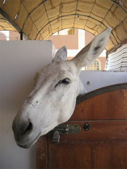 A donkey at the ACE, where working animals are cared for in Luxor, Egypt. Photos by Jessica Ocheltree.