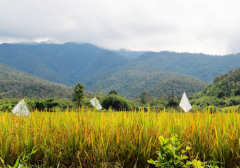 Rice paddies and the Thai mountains