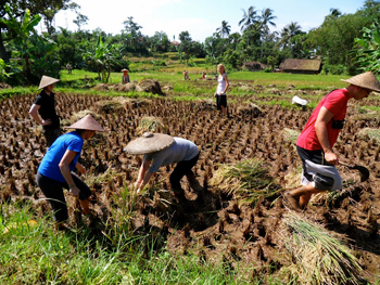 Working in the rice fields, helping the villagers.