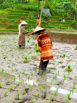 Working in the flooded rice paddies.