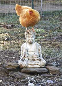 A chicken achieves enlightenment at D Acres in Dorchester, New Hampshire.