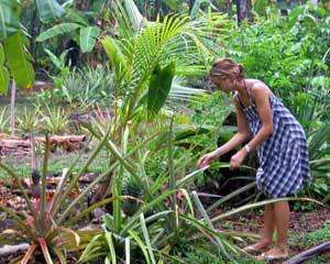 Karina picking a pineapple at Ensuenos Resort