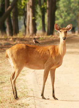 Look I have company of the feathered variety. A barasingha and her feathered friend at Kanha National Park in Madhya Pradesh, India. Photos by Mridula Dwivedi