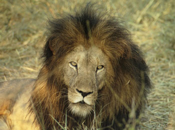 A lion named Calvin Klein relaxes in the game preserve at Kapama Lodge in South Africa. Photos by Jim Prevet.