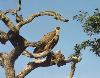 The vulture is a reminder of the age-old struggle between predator and prey.