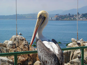That's MISTER Pelican to you, fella!