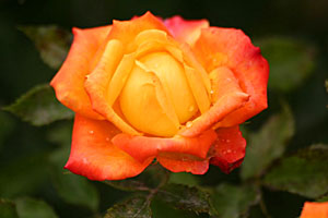 A rose in the garden