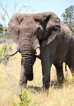 An elephant at the Sabi Sabi Game Reserve. Photos by Janis Turk.