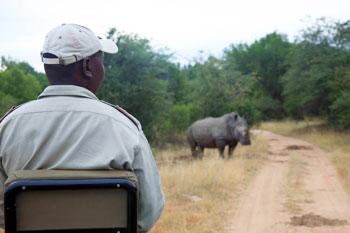 Goody tracks a rhino.