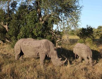 Rhinos at Sabi Sabi