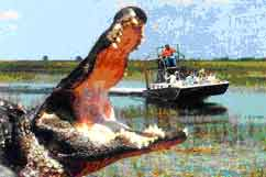 Gator and an airboat.