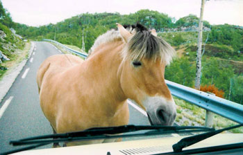 A curious fjord pony holds things up in Norway.