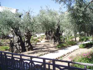 Ancient olive trees outside the Church of All Nations - photos by Roman Skaskiw